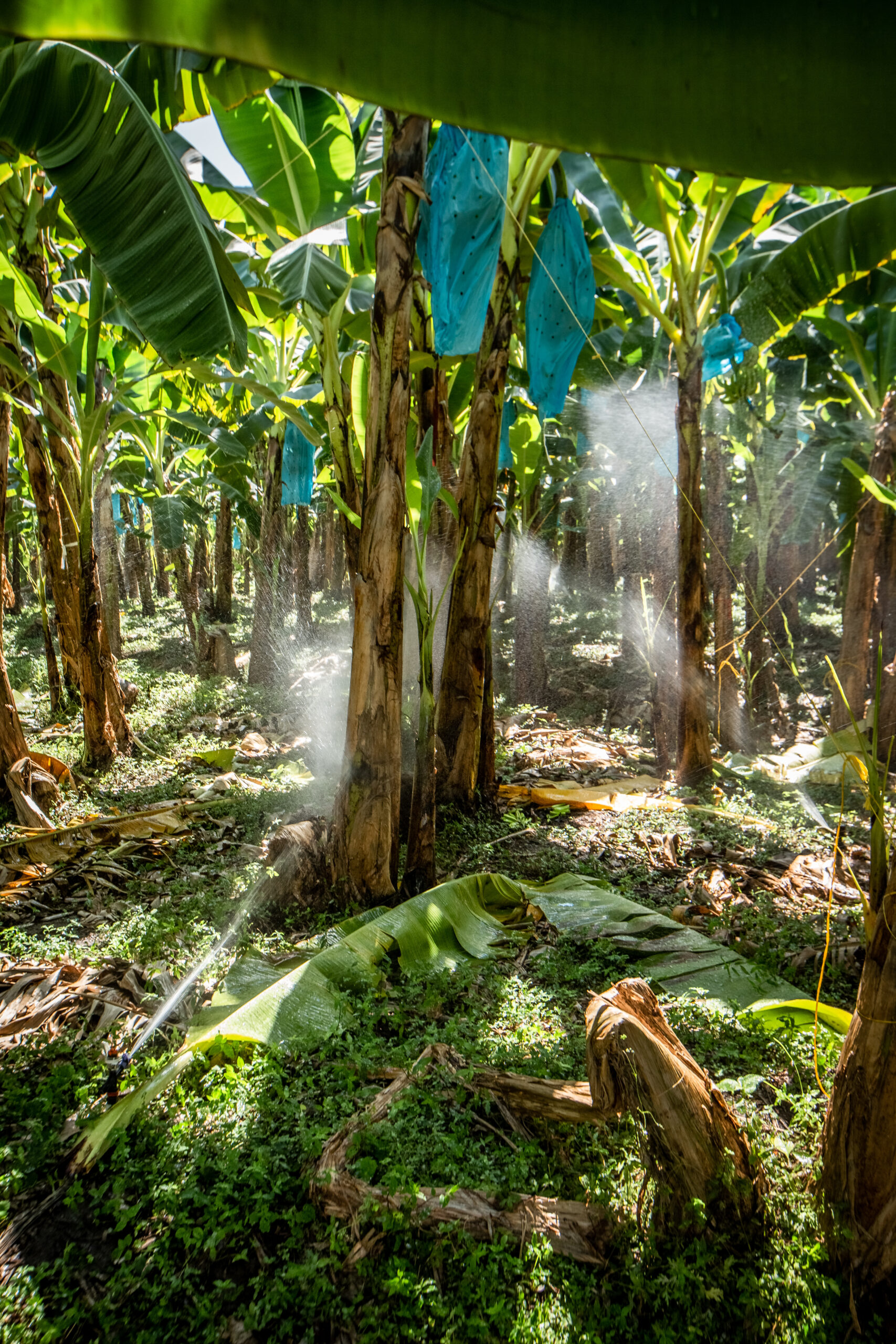 Bananenpflanze © Fairtrade Foundation